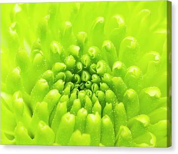 Chrysanthemum Macro Canvas Print by Wim Lanclus