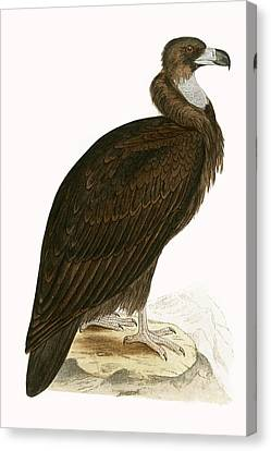 Cinereous Vulture Canvas Print by English School