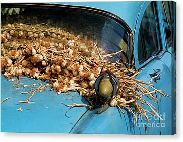 Classic American Car With Trailer Full Of Garlic Canvas Print by Sami Sarkis