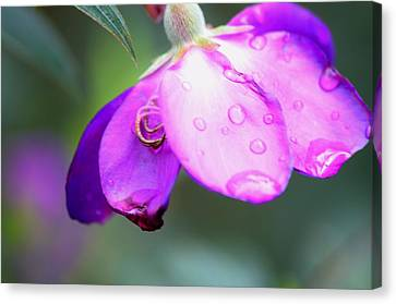Clematis And Raindrops  Canvas Print by Warren Thompson