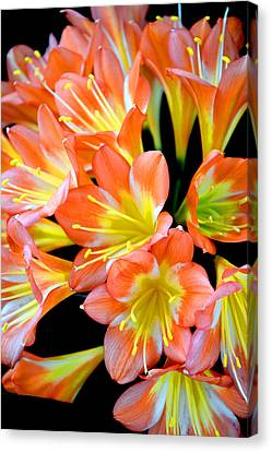 Clivia Miniata. Orange Flowered Form. Canvas Print by Andy Za