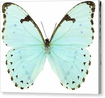 Close-up Of A White Butterfly Canvas Print by Stockbyte