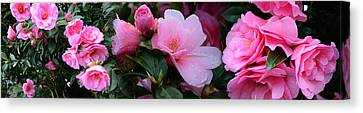 Close-up Of Pink Camellia Flowers Canvas Print by Panoramic Images