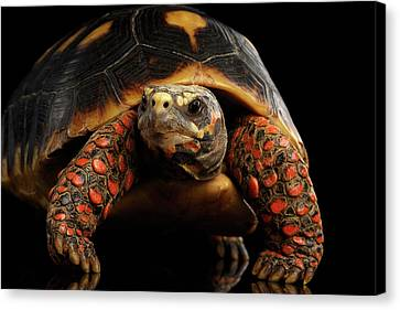 Close-up Of Red-footed Tortoises, Chelonoidis Carbonaria, Isolated Black Background Canvas Print by Sergey Taran