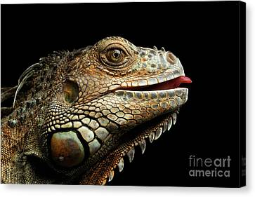 Close-upgreen Iguana Isolated On Black Background Canvas Print by Sergey Taran