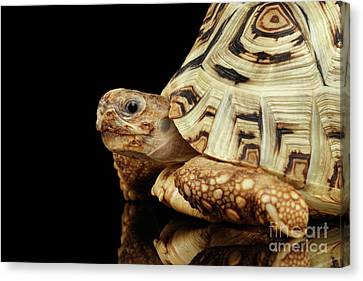 Closeup Leopard Tortoise Albino,stigmochelys Pardalis Turtle With White Shell On Isolated Black Back Canvas Print by Sergey Taran