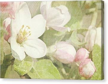Closeup Of Apple Blossoms In Early Canvas Print by Sandra Cunningham
