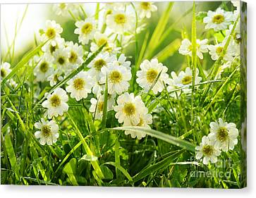 Closeup Of Daisies In Field Canvas Print by Sandra Cunningham