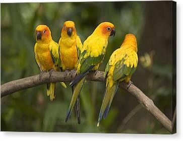 Closeup Of Four Captive Sun Parakeets Canvas Print by Tim Laman