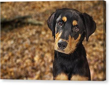 Closeup Of Rotweiller Puppy In Autumn Leaves Canvas Print by Susan Schmitz