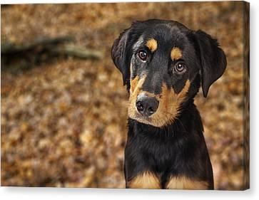Closeup Of Rotweiller Puppy In Autumn Leaves Canvas Print by Susan Schmitz