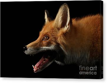 Closeup Portrait Of Red Fox In Profile Isolated On Black  Canvas Print by Sergey Taran