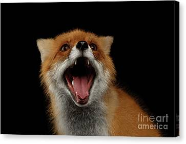 Closeup Portrait Of Smiled Red Fox Isolated On Black  Canvas Print by Sergey Taran