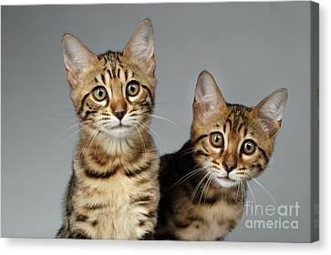 Closeup Portrait Of Two Bengal Kitten On White Background Canvas Print by Sergey Taran