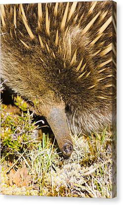 Closeup Wildlife Photo On The Snout Of An Echidna Canvas Print by Jorgo Photography - Wall Art Gallery