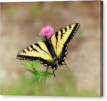 Clover And Swallowtail - Butterfly Canvas Print by MTBobbins Photography