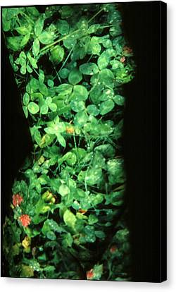 Clover Canvas Print by Arla Patch