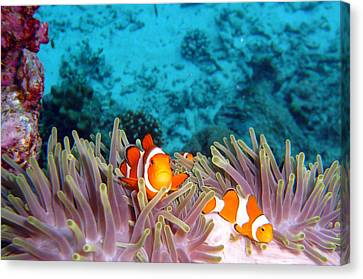 Clown Fishes Canvas Print by Takau99
