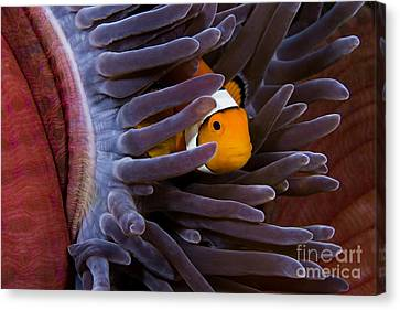 Clownfish And Anemone Canvas Print by Dave Fleetham - Printscapes