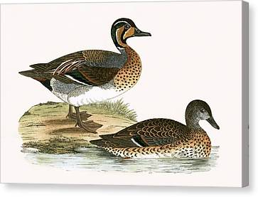 Clucking Teal Canvas Print by English School