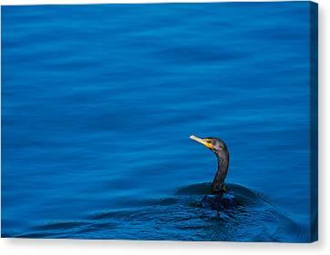 Coastal Cormorant Canvas Print by Karol Livote