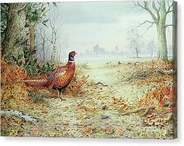Cock Pheasant  Canvas Print by Carl Donner