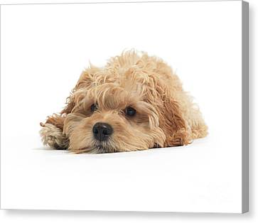 Cockapoo Dog Isolated On White Background Canvas Print by Oleksiy Maksymenko