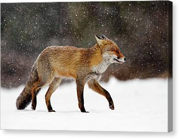 Cold As Ice - Red Fox In A Snow Blizzard Canvas Print by Roeselien Raimond