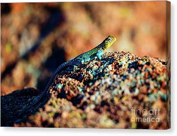 Collared Lizard Canvas Print by Tamyra Ayles