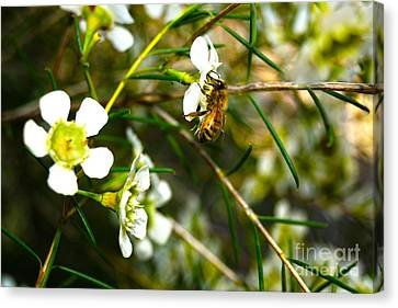 Collecting Pollen Canvas Print by Cassandra Buckley