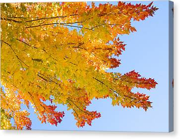 Colorful Autumn Reaching Out Canvas Print by James BO  Insogna