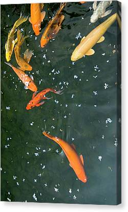 Colorful Fishes And Floating Petals Canvas Print by Lawren