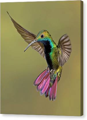 Colorful Humming Bird Canvas Print by Image by David G Hemmings