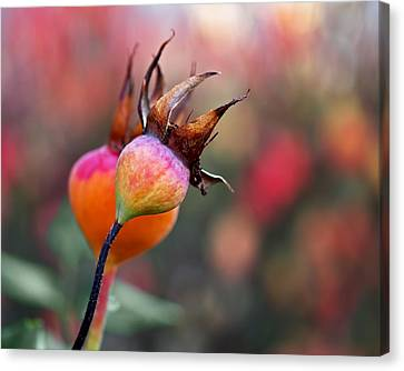Colorful Rose Hips Canvas Print by Rona Black