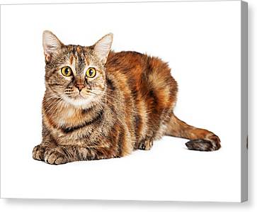 Colorful Tortie Cat Laying Looking Forward Canvas Print by Susan  Schmitz