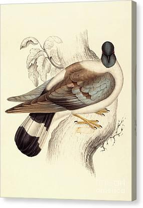 Columba Leuconota, Snow Pigeon Canvas Print by Elizabeth Gould