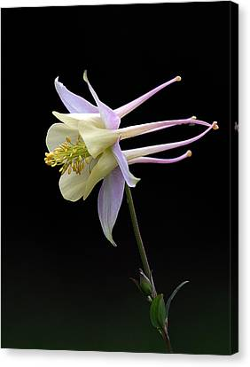Columbine Canvas Print by Barry Culling