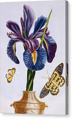 Common Iris With Butterflies Canvas Print by Pierre-Joseph Buchoz