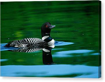 Common Loon In Water, Michigan, Usa Canvas Print by Panoramic Images