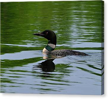 Common Loon Canvas Print by Tony Beck