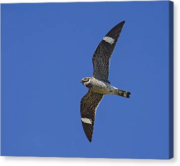 Common Nighthawk Canvas Print by Tony Beck