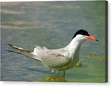 Common Tern Portrait Canvas Print by Cliff  Norton