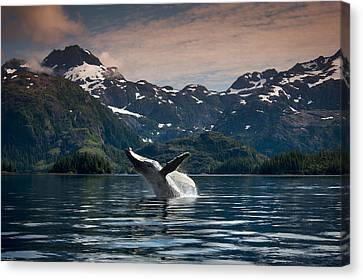 Composite Breaching Humpback Whale Canvas Print by Daryl Pederson