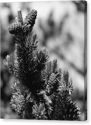 Conifer Canvas Print by Allan McConnell