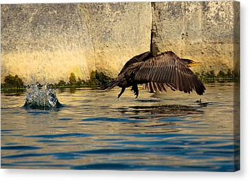 Cormorant In Motion Canvas Print by Amy Sorvillo