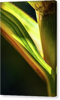 Corn Leaves Nr. 3 Canvas Print by Mah FineArt