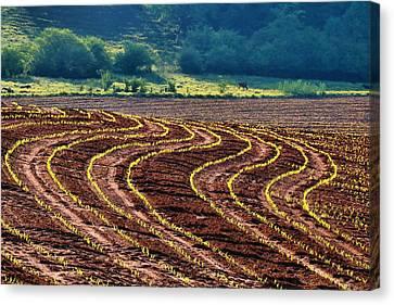 Corn Rows Canvas Print by Kathryn Meyer