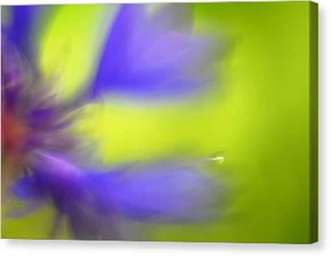 Cornflower Canvas Print by Silke Magino