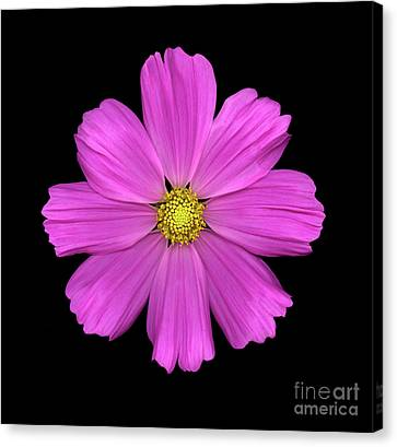 Cosmos Canvas Print by Christopher Gruver