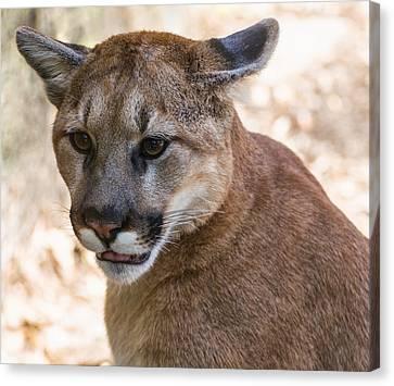 Cougar Portrait Canvas Print by Chris Flees